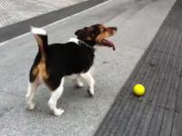 一人遊び犬。このワンコ賢くて可愛すぎワロタ動画。階段を使って一人で遊ぶ