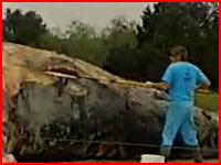 新しくクジラ爆発のヤバイ動画を発見。裂いた皮膚から内蔵ムニュムニュ(@_@;)
