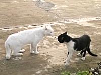 ネコvsネコ。予想外すぎるポーズで威嚇する白黒猫がヤバイ動画wwwww