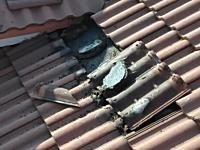 蝙蝠に住みつかれた家。屋根の瓦を外したら大量のコウモリさんがパタパタ