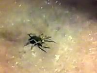 ぎゃああ!背中に沢山の子供を乗せた蜘蛛をぶちっと潰すとうわああ(@_@;)