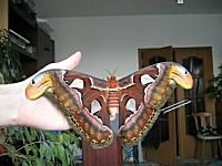 リアルモスラ ありえない程に巨大なガ(蛾) 僕のカワイイペットを紹介します