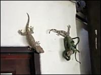 ヘビに襲われた仲間のヤモリを助けようとしているヤモリさん。頑張れゲコ!