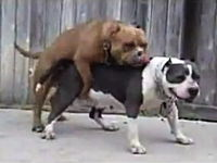 犬がセックス中にゲロ そしてメス犬に逃げられる ゲロ動画注意