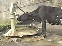 インドのウシは賢いwww自分で井戸のハンドルポンプを操作して水を飲む。