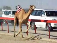 カタールで行われているロボットのジョッキーが乗るらくだレース