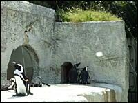 ペンギンに反射させた光でイタズラ相次ぐ。動画サイトの影響か。悩む動物園