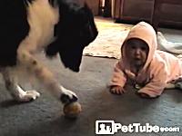ほのぼの動画。人間の赤ちゃんのボール遊びに優しく付き合う大きなワンコ