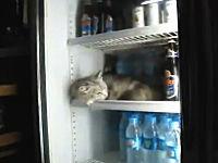 これは大丈夫なの?冷蔵庫の中で冷やされているネコさんの動画。虐待?