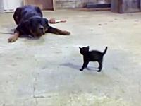 自分の何倍もある大きなワンコに挑む子猫。小さくても威嚇のポーズできるよ