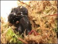 カタツムリの捕食動画。素早い動きでミミズを捕える珍しいカタツムリの映像