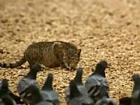これが野生のぬこの狩りだ。背を低くして獲物に近づき逃げ遅れたヤツに飛びつく