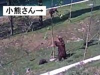 細い木に登ってしまった子供のクマを助けようとするママの行動