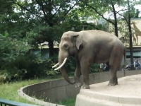 これは悲惨・・・。ベルリン動物園で象の不意打ちを受けた観光客のビデオ。