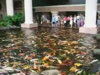 コイのスタートダッシュ凄いwww大量に鯉がいる池に餌を投げ入れると?