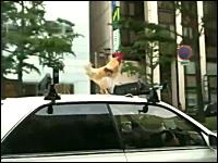 大阪名物。車の屋根の上に生きたニワトリを載せて走るクラウン。良く見るw