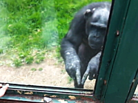 動物園のチンパンジーが訪問者に何かを伝えようとしている驚きの映像。