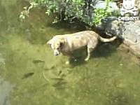 狩りするワンコ。水面下の魚にじーっと狙いを付けてパクッ!どこで覚えたw