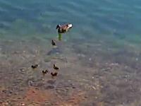 忍び寄る捕食者。優雅に泳いでいたカルガモの赤さんが魚に食べられる瞬間