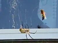 これは凄い昆虫動画。蜘蛛の巣にかかったハチが凄い速さで包まれてしまう