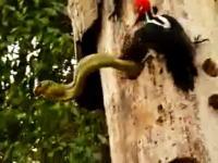 母は強し 卵を食べにきた大きなヘビに戦いを挑むキツツキのお母さん