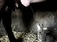 猫「新鮮すぎワロタwww」牛のミルクをダイレクトに飲むネコネコ動画(*´Д`)