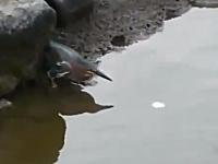 このトリ賢すぎワロタwwwエサを浮かべて魚を釣って食べる。どこで覚えた。