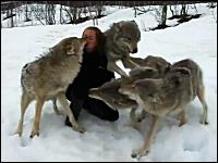 感動の再会。オオカミの群れは女性を覚えていた。数年ぶりの女性に・・・。