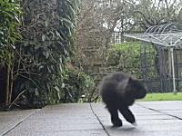 事故で片手片足を無くした黒ペルシャ猫。手術と長期的なケアで元気な姿に