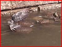 一羽のハトに沢山のカメが群がり・・・。水中に引き込まれていく衝撃映像。