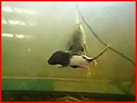 再生注意!子ネズミを食べるブラックバスの衝撃映像