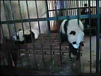 柵の意味ねえ!檻からムニューンと脱出しちゃう脱走パンダが可愛い。
