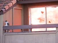 ネコさん逃げて!逃げて!住宅火災から逃げ遅れてパニックになるニャンコ