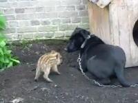 猪は小さくてもイノシシ!子供の猪が大きなワンコを激しく威嚇している動画