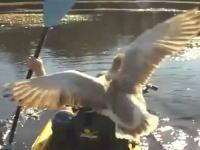 ブチギレたガチョウさんに船から落とされる釣り人w なぜキレたwww