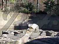ベルリン動物園のシロクマのクヌートが観客の目の前で急死してしまう瞬間