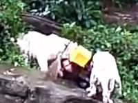 二匹のホワイトタイガーに襲われる清掃員。なぜ猛獣の檻に入ったんだ?