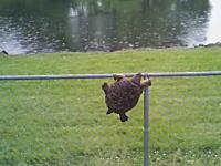 これもまたカメ生。目の前には池。でもその前にそびえ立つ巨大なフェンス!
