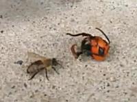 転がっていたオオスズメバチの生首に気が付いて焦りまくるニホンミツバチ