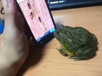 カエルにアプリで遊ばせてみたらネタのようなハプニング映像が撮れた動画w