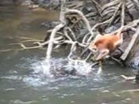 複数のラッコが猿に噛みついて溺死させようとしている衝撃映像。カワウソかも。