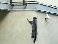 エクストリームただいまニャン。壁をよじ登って自宅に戻る忍者キャットの映像