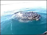 巨大クジラと近すぎる遭遇。ホエールウォッチングもここまで近いと怖い動画。