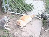 この貫禄wwwww2匹のワンコに激しく吠えられてもまったく動じないネコww