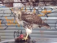 この車の所有者悲惨すぎる。NYで野生の鷹が車の上でお食事中。微グロ