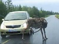 路上で「かい~の」して道路を塞ぐ大きな鹿をパンチで追い払うドライバー