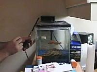 金魚を爆殺!?極悪なムービーを撮ろうとして大変なことに!wこれは罰だ。