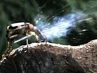 不思議な昆虫図鑑 外敵に向けて高温のガス(100℃以上)を爆発的に噴射